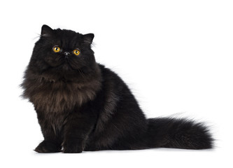 Excellent deep black Persian cat kitten sitting side ways looking up with big round yellow eyes, isolated on a white background