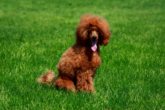 Dog breed small miniature Poodle