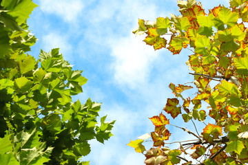 Autumn sky landscape,The sycamore of the autumn sky,Autumn leaves informing of autumn