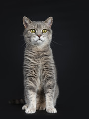 Wise looking senior British Shorthair cat, sitting straight up front view, looking beside camera, isolated on black background