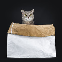 Wise looking senior British Shorthair cat, sitting in white paper bag, looking over edge beside camera, isolated on black background