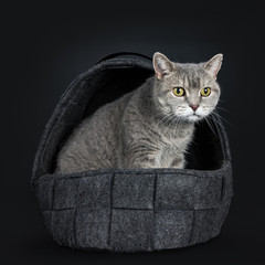 Wise looking senior British Shorthair cat, sitting side ways in black woven woolen basket, looking to the side isolated on black background
