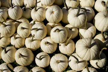 Selection of White Pumpkins