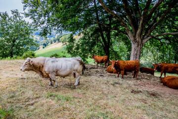 Taureau et Vaches de Salers