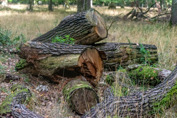 Felled trees in the forest