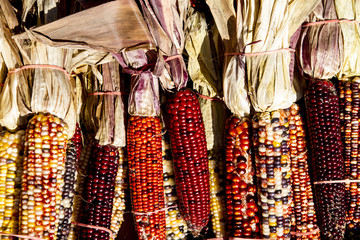 Row of banded Indian Corn