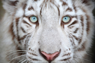 Белый тигр.