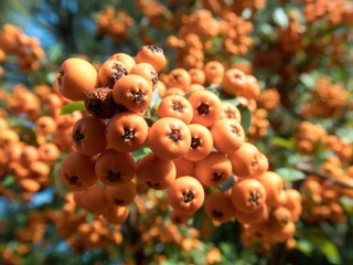 orange seasonal autumn berry on a tree