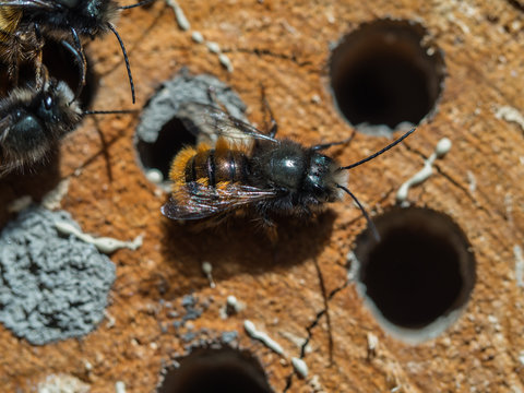 Solitary bee  at insect hotel