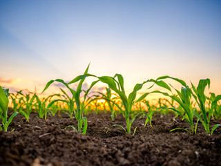 Green corn maize plants on a field. Agricultural landscape Fototapete