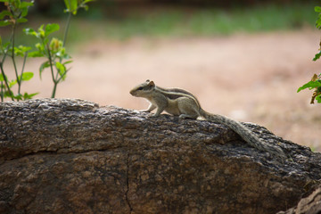 A Squirrel on the tree trunk looking curiously in its natural habitat with a nice soft green blurry background.
