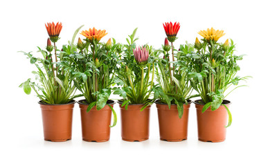 Colorful  Gazania plants in the flowerpot isolated on white
