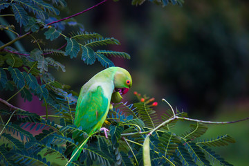 A Parrot eating the fruit from the Gulmohar tree which is also called Royal poinciana, in its natural habitat