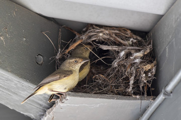"Buff-rumped Thornbill (Acanthiza reguloides) race ""australis"" feeding chicks at its nest"