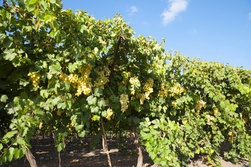 Grapes Orchard