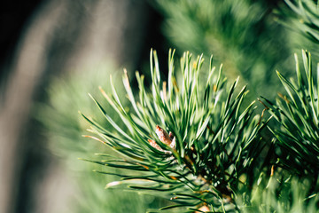 Closeup View of the Spruce Needles