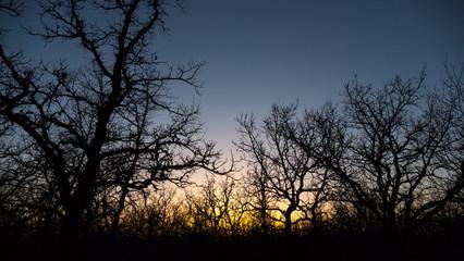 Bur oak woodland at sunset