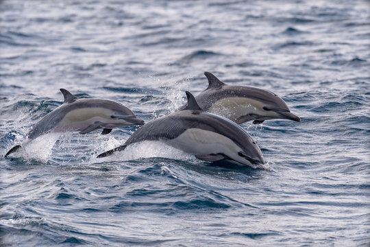 A trio of common dolphins jump out of water