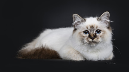 Stunning tabby point Sacred Birman cat kitten, laying down side ways and looking curious into lens with marvelous blue eyes, isolated on black background