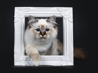 Stunning tabby point Sacred Birman cat kitten stepping through a white photo frame and looking proudly in camera lens with mesmerizing blue eyes, isolated on black background