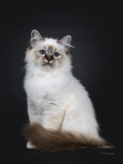 Stunning tabby point Sacred Birman cat kitten sitting with tail around body and looking beside lens with mesmerizing blue eyes, isolated on black background