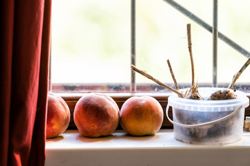 Closeup of three fresh ripe, orange and yellow, peaches, and dry homegrown garden garlic stems in container on window sill in Ukraine or Russia dacha country rustic home house cottage