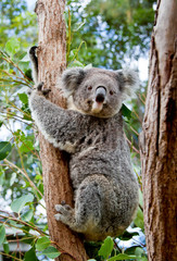 Garden Poster Koala A cute koala clinging to the trunk of a eucalyptus tree in Australia