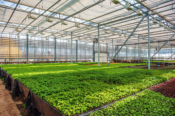 Organic ornamental plants and flowers in modern hydroponic greenhouse or hothouse with climate control system