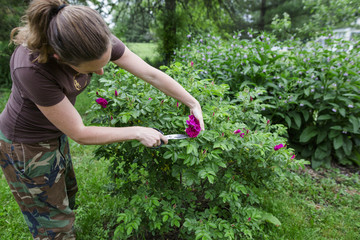 Side view of woman cutting pink rose from plant at farm