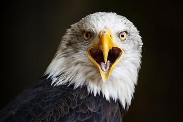 Acrylic Prints Eagle Close up portrait of a bald eagle (Haliaeetus leucocephalus)