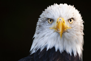 Close up portrait of a surprised bald eagle (Haliaeetus leucocephalus)