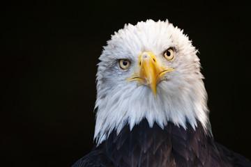 Poster Eagle Close up portrait of a bald eagle (Haliaeetus leucocephalus)