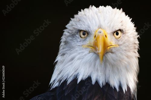 Wall mural Close up portrait of a surprised bald eagle (Haliaeetus leucocephalus)