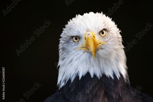 Wall mural Close up portrait of a bald eagle (Haliaeetus leucocephalus)
