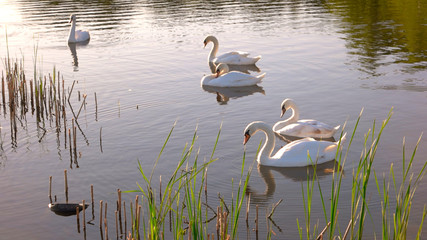 White swans floating on water. Five beautiful swans floating on pond. Sunny summer day.