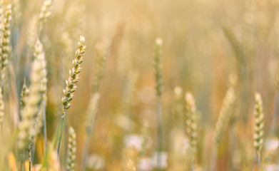 Wheat field. full of ripe grains, golden ears of wheat or rye close up. Rich harvest Concept. majestic rural landscape. Soft lighting effects