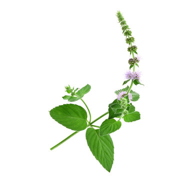 Mint Herbal Plant Macro Close Up. Also Mentha Longifolia Asiatica or Asian Mint. Isolated on White Background.