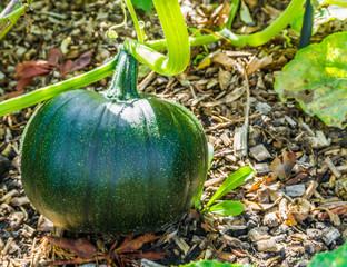 green pumpkin vegetable growing on a pumpkin plant