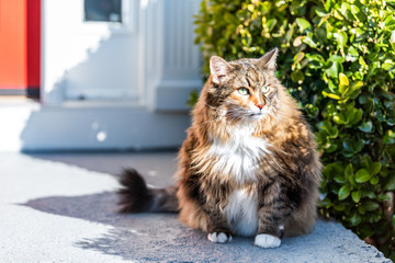 One scared, calico maine coon cat sitting outside, outdoors by red door hiding behind green bushes in shade by house, home entrance