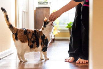 Young woman holding meat, treat with hand teaching, training standing calico cat sniffing tricks, begging, picking, asking food in living room, with window bright light, legs