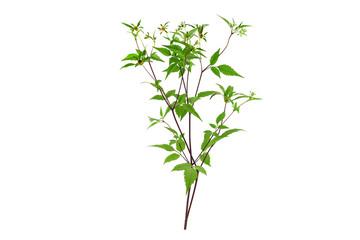 Bidens Frondosa Medicinal Herb Plant. Aslo Known as Devil's Beggarticks, Devil's-Pitchfork, Bootjack, Sticktights, Bur Marigold, Pitchfork Weed, Tickseed Sunflower. Isolated on White Background.