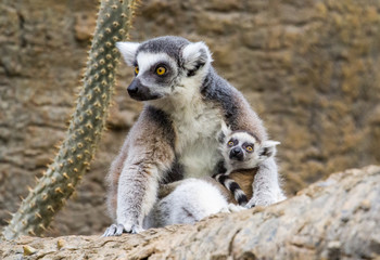 Lemur Family With Baby Cuddle