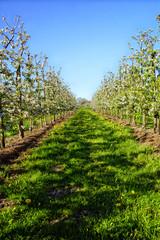 Apfelplantage in der Blüte hochformat