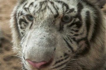 White tiger / White tiger at Chiang Mai Night Safari , Thailand