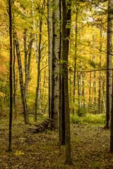 Pile of firewood alongside birch tree in forest