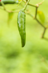 Fresh green chilli on tree