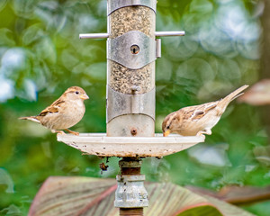 Two sparrows at the bird feeder