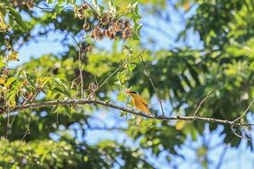 Oriole Bird