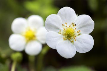 オランダイチゴの花のアップ