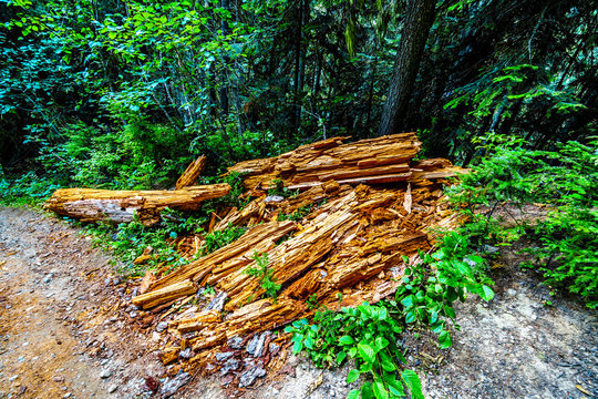 Decomposed tree trunk on a hiking trail to Falls Lake near the Coquihalla Summit in British Columbia, Canada